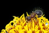 Hairy ant on a yellow flower