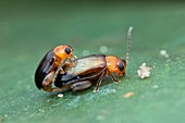 Leaf beetles mating