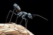 Black Ant defensive pose