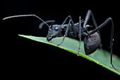 Polyrhachis armata ant