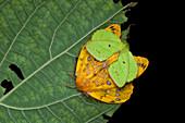 Mating lappet moths