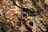 Saint Valentine ant