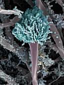 Aspergillus fumigatus fungus, SEM
