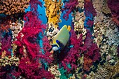 Emperor angelfish and coral reef