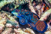 Mandarinfish on reef