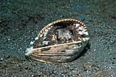 Veined octopus hiding in empty shell