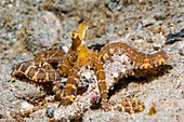 Wonderpus octopus on a reef