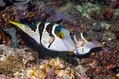 Saddled puffer fish on reef