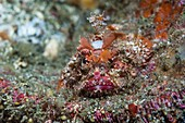 Scorpionfish camouflaged on a reef