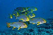 Oriental sweetlips over a reef