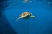 Green turtle swimming in open ocean