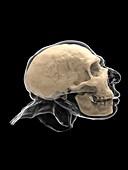 Neanderthal skull and head, illustration