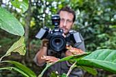 Man photographing harlequin tree frogs, Borneo