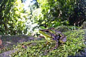 Mating black-spotted rock frogs, Borneo