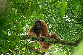 Male orangutan, Borneo