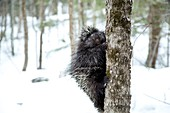 North American porcupine climbing tree