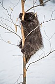 Porcupine climbing beech tree
