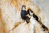 Black-thighed falconets