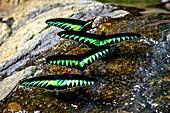 Raja Brooke's birdwing butterflies, Borneo
