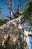 Boab tree (Adansonia gregorii), Australia