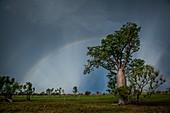 Rainbow over boab tree, Australia