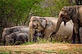 Sri Lankan elephants drinking