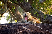 Leopard yawning, Sri Lanka