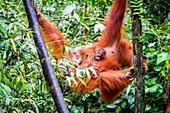 Sumatran orangutan with baby