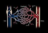 Capillary system, illustration