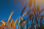Ripe barley ears in field