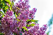 Blooming lilac (Syringa sp.)