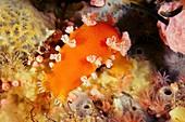 Giant orange tochui nudibranch