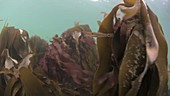 Two-spotted goby swimming in kelp