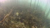Dogfish swimming in kelp and bootlace weed
