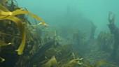 European pollack swimming in kelp