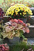 Multiflora Chrysantheme 'Kiraz' und Purpurglöckchen