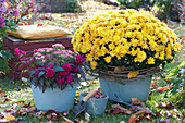 Herbst-Arrangement mit Chrysantheme 'Kiyellow'
