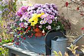 Chrysanthemen Trio und 'Kiwhite' im blauen Holzkasten