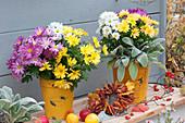 Trio Chrysanthemen in gelben Töpfen