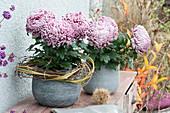 Deko-Chrysantheme 'Malabar'
