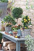 Kumquat und Calamondin-Orange mit Myrte und Christrose