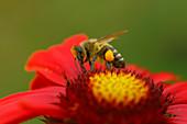 Honigbiene mit Pollensäckchen auf Blüte
