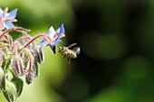 Honigbiene im Anflug auf Borretsch-Blüte