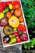 Various heirloom tomatoes in a crate