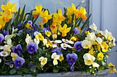 Frühlings-Kasten mit Hornveilchen und Narzissen am Fenster