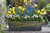 Frühlings-Kasten blau, gelb, weiß bepflanzt