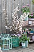 Frühlings-Balkon mit Frühlingsblühern und Zierkirsche
