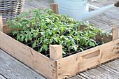Obststiege mit Tomaten - Jungpflanzen