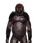 Paranthropus boisei male, illustration