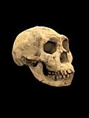 Turkana Boy skull, illustration